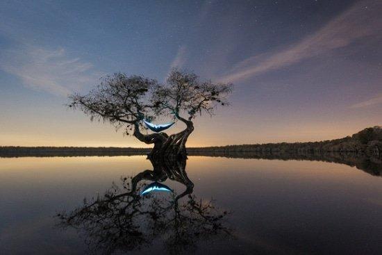 Reishangmat in cypresboom in Florida VS
